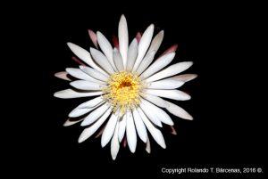 Nyctocereus_serpentinus_flor3